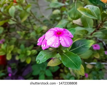 beautiful periwinkle with green leafs