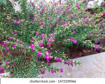 beautiful periwinkle  plant in garden