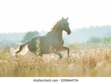 beautiful perlino akhal-teke horse runs free in sunrise field