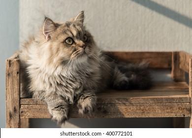 Beautiful  persian cat lying on old wood shelf