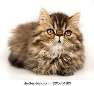 Beautiful Persian kitten cat marble color coat, three weeks old