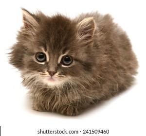 Beautiful persian little kitten isolated on white background