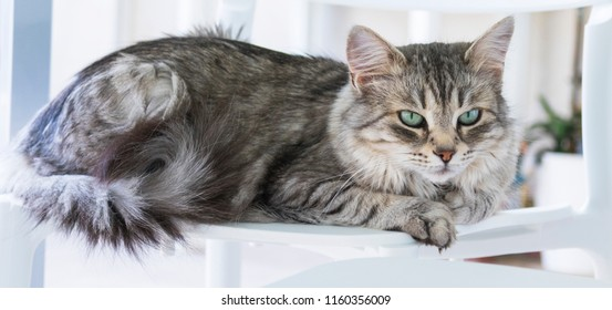 Beautiful pet of livestock, siberian purebred cat. Hypoallergenic animal with long silver hair
