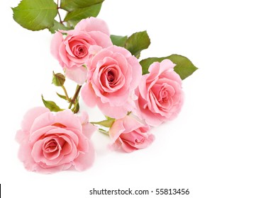 Beautiful petite pink roses on a white background, selective focus
