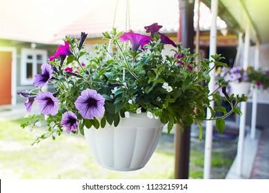 Beautiful petunia flowers (Petunia hybrida) in a hanging plastic pot