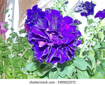 """Beautiful petunia, a variety of """"Double Cascade, Blue"""". Giant flowers up to 10 cm. Beautiful large and bright flowers with a variety of colors made Petunia popular among florists"""