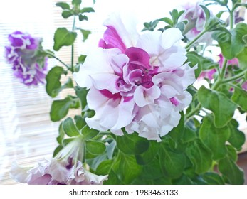 """Beautiful petunia, a variety of """"Terry Disco"""". Giant flowers up to 10 cm. Beautiful large and bright flowers with a variety of colors made Petunia popular among florists"""