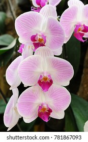 Beautiful phalaenopsis orchid