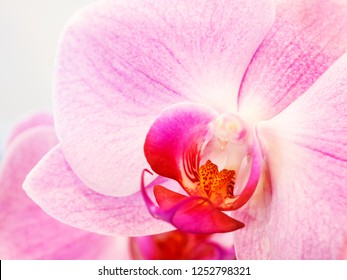 Beautiful Phalaenopsis orchid. Close up photo of pink petals.