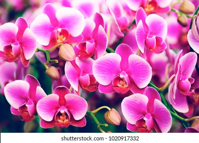 beautiful phalaenopsis orchid flower