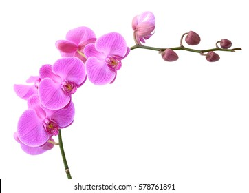 beautiful Phalaenopsis orchid flowers, isolated on white background