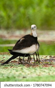 Beautiful pheasant tailed jacana taking care of  his chick