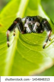 Beautiful Phidippus clarus, Brilliant jumping spider, waiting for prey under a leaf with his white pedipalps in front of his iridescent green chelicerae
