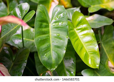 Beautiful Philodendron, a houseplant with the heart shaped leaf is wet with water drops on the green foliages in selective focus. They are growing in the garden, background blurred.
