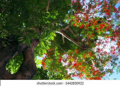Beautiful phoenix flower shoot from bottom view with red petal in green leaf and amazing shape of tree trunk, flamboyant is summer flowers of Vietnam