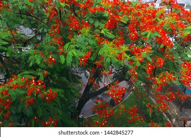 Beautiful phoenix flower tree shoot from top view with red petal in green leaf and large foliage, flamboyant is summer flowers of Vietnam
