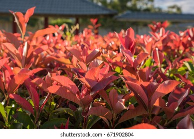 Beautiful Photinia used for a hedge or background. Grown in Japanese garden in Australia.