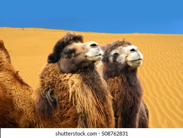 Beautiful photo of bactrian camels with sand dunes in the background. Gobi Desert. The camels can go without water for months. When water is available they drink up to 57 l at once