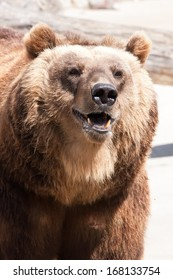 Beautiful photo of big and strong brown Bear in zoo
