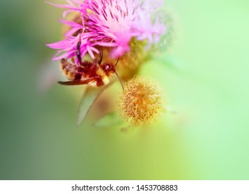 A beautiful photo of a bumblebee on a red flower is photographed close-up.