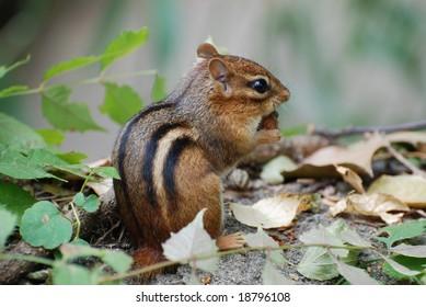 Beautiful photo of a chipmunk