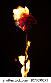 Beautiful photo of a dark red rose on a black background on fire