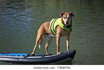 Beautiful photo of a dog playing outside on a stand up paddle board with a life jacket on in a pond