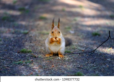 Beautiful photo of a furry squirrel in a fir spring forest
