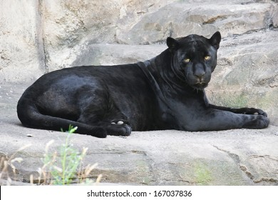 Beautiful photo of graceful black leopard - panther