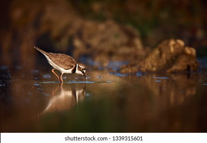 Beautiful photo of Little ringed plover - Charadrius dubius. Small plover search food in water. Wildlife scene from Czech Republic