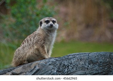 Beautiful photo of a meercat