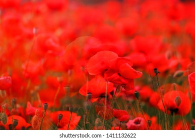 Beautiful photo of spring landscape with red poppies in the field
