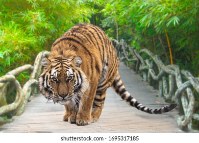 Beautiful photo of tiger. Tiger is preparing to jump  and ready to attack on the bridge. Green background.