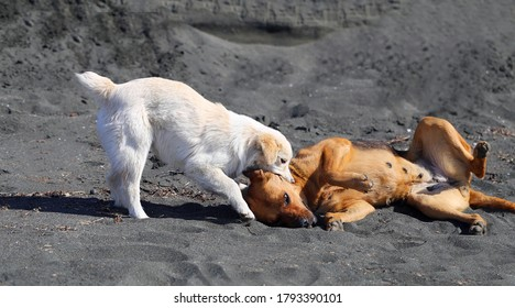 Beautiful photo of two dogs playing on the black sand of the beach. Pet dogs in the game are funny and cute.