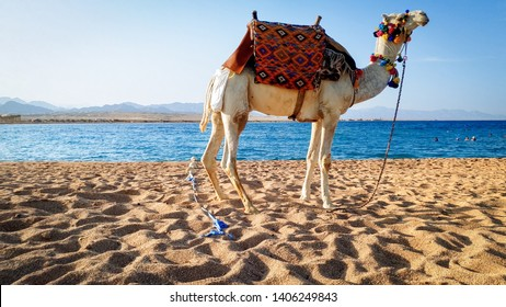 Beautiful photo of white camel with decorated saddle standing on the sand at sea beach. Camels are used for tourists riding and entertainment in Egypt and Turkey