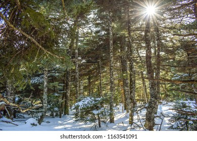 Beautiful photo of winter day with snow on fir trees and sunbeams penetrate the tops of the trees.