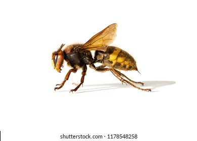 A beautiful photograph of the European hornet (Vespa crabro), the largest wasp native to Europe