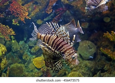 Beautiful photograph of one red lionfish (Pterois) and colorful corals in the background in the Barcelona aquarium, Spain. The underwater world. Wild nature background.