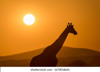 A beautiful photograph of a walking giraffe silhouetted against a golden sunset sky, with the sun in the background, taken in the Madikwe Game Reserve, South Africa.