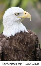 Beautiful Photography of a majestic American eagle