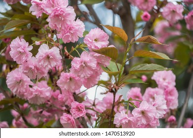 Beautiful photography of real fresh pink flowers of sakura cherry tree growing outdoor in garden or park with blurry spring foliage in background. Horizontal color photography.