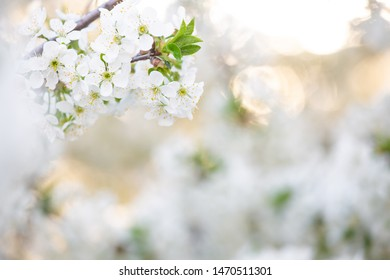 Beautiful photography of real fresh white flowers of cherry tree growing outdoor in sunset garden with blurry summer foliage in background. Natural border or holiday frame.