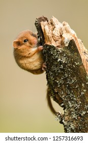 Beautiful photos of a nice pet.. Hazel Dormouse / Muscardinus avellanarius