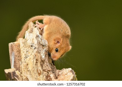 Beautiful photos of a nice pet. Hazel Dormouse / Muscardinus avellanarius