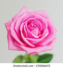 Das schöne Bild für den Desktop. Rosa einzelne Rosen bei Tageslicht.  Lebhafte Blütenblätter, Nahaufnahme. Romantische Blüte. Eine einzelne Rose