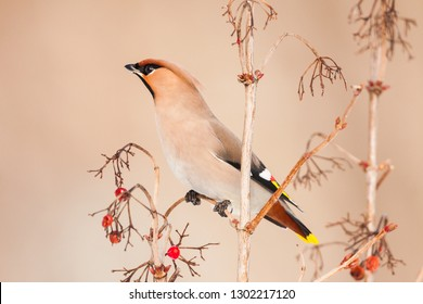 Beautiful picture of  Bohemian Waxwing, Bombycilla garrulus. A bird sits on a branch with red berries. Wildlife scene from Czech Republic