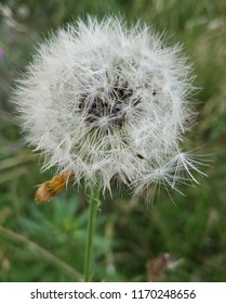 Beautiful Picture of a Dandilion