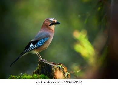 Beautiful picture the Eurasian jay (Garrulus glandarius). A bird sits in a deep forest on a stump. Wildlife scene from Kuhmo, Finland.