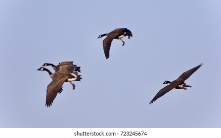 Beautiful picture with four Canada geese flying