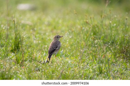A beautiful picture of Paddyfield pipit.
